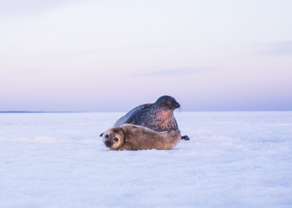 Ringed seals bring young in winter, on the ice of the White Sea