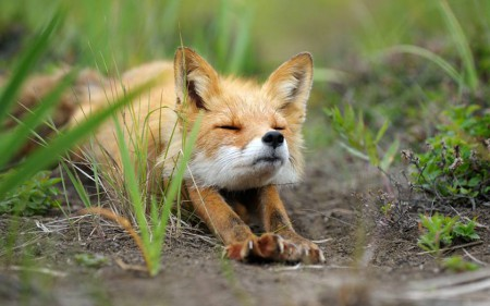 Beautiful Foxes from Kamchatka!