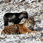 Friendship tiger and the goat